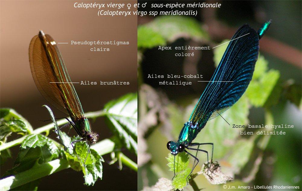 Caloptéryx vierge - Identification
