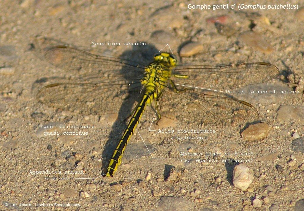 Gomphe gentil (Gomphus pulchellus)
