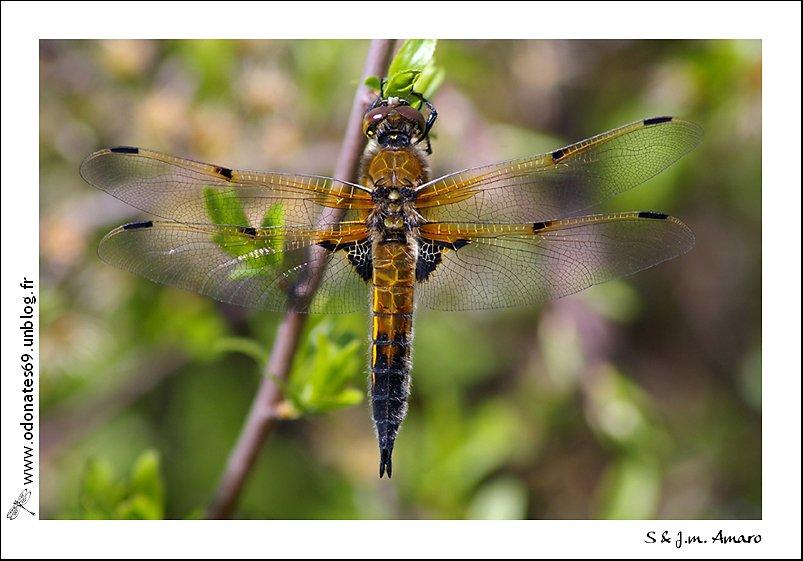 20090418quadrimaculata01.jpg
