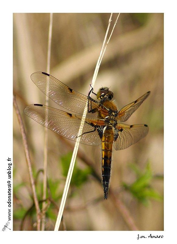 20090418quadrimaculata02.jpg