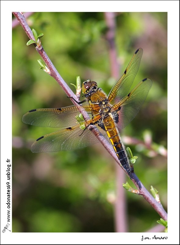 20090418quadrimaculata05.jpg