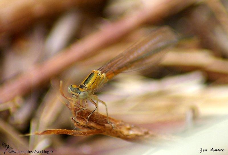 Agrion nain (Ischnura pumilio)
