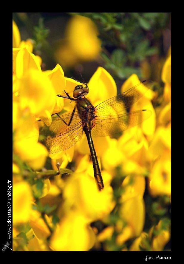 20090502corduliaaenea01b.jpg