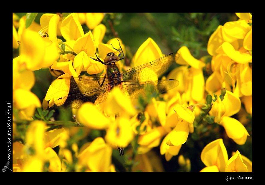 20090502corduliaaenea02b.jpg