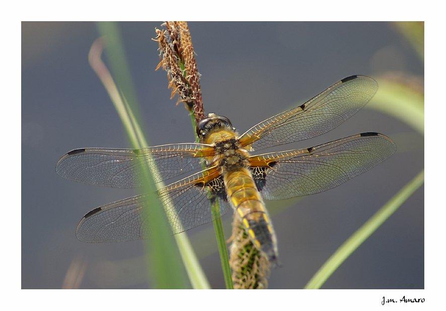20090502quadrimaculata02.jpg