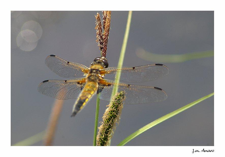 20090502quadrimaculata03.jpg