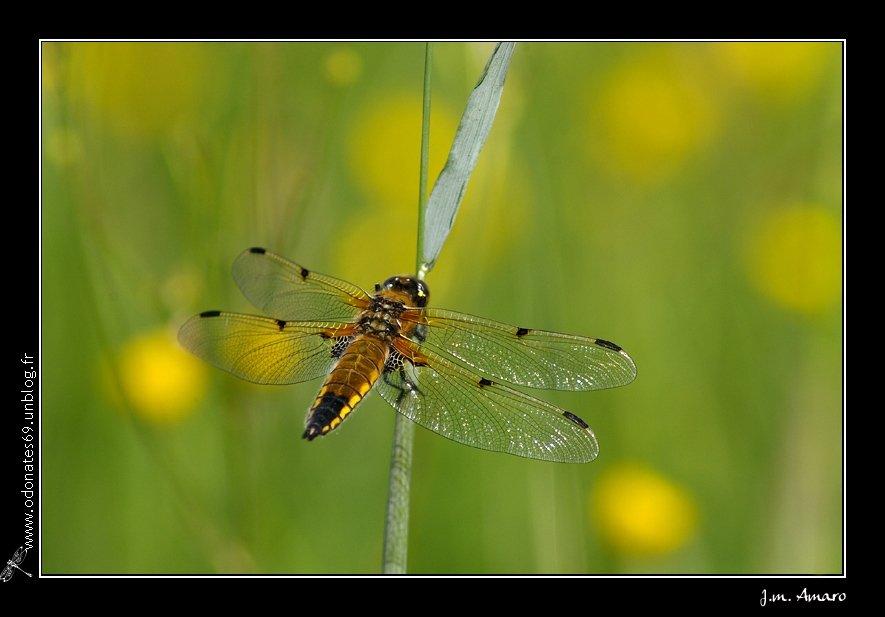20090516quadrimaculata01.jpg
