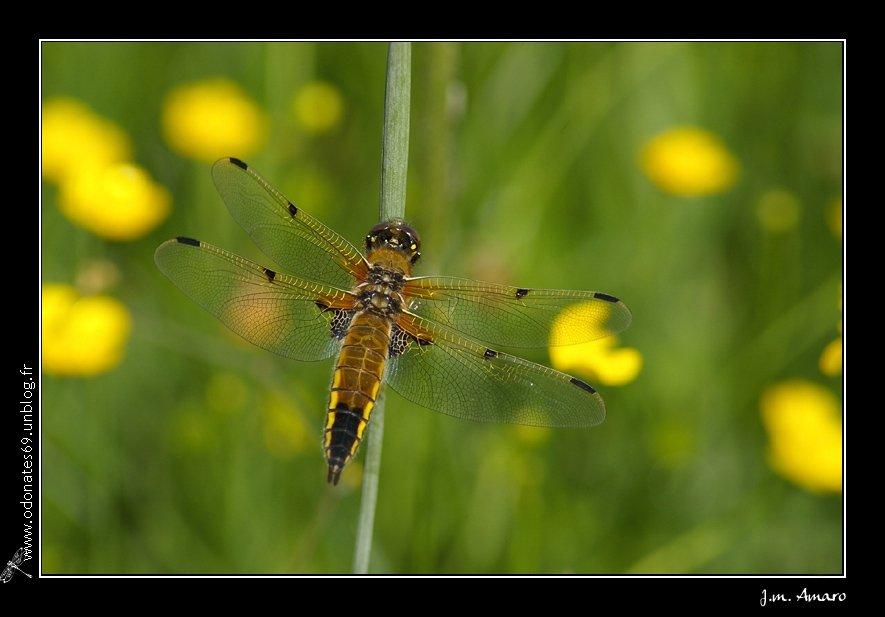 20090516quadrimaculata02.jpg