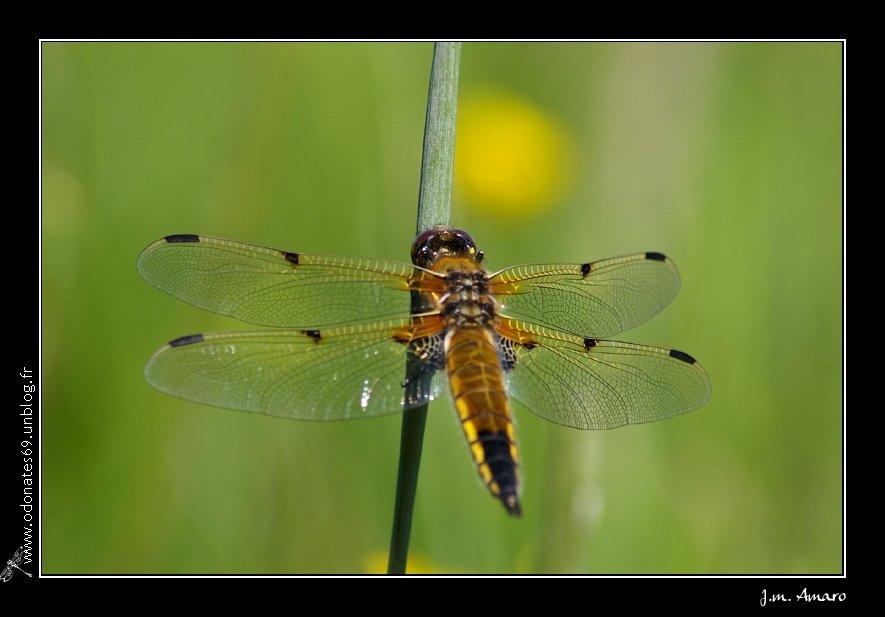 20090516quadrimaculata03.jpg