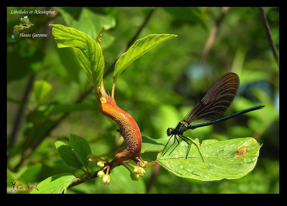calopteryx01b.jpg
