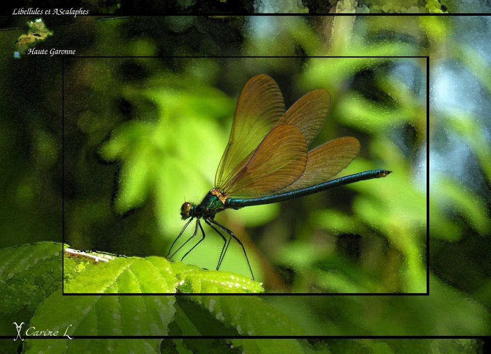 calopteryx02b.jpg