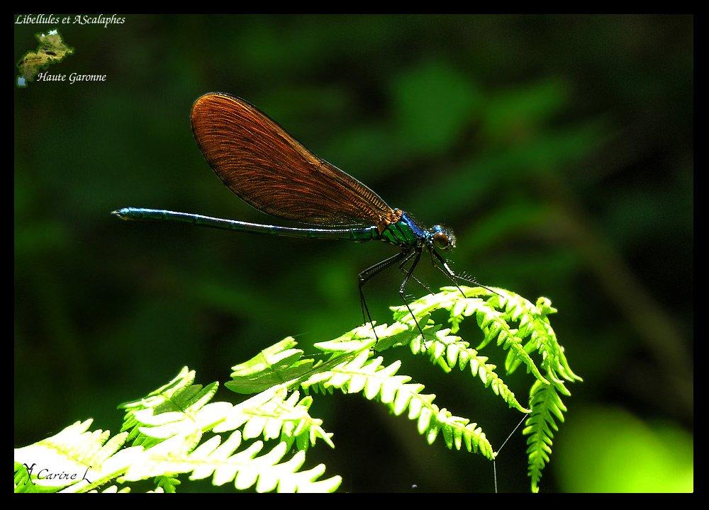 calopteryx1602b.jpg