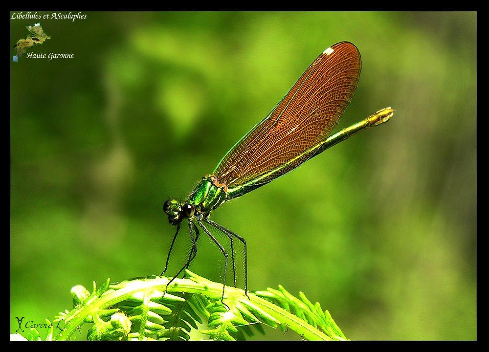 calopteryx2090b.jpg