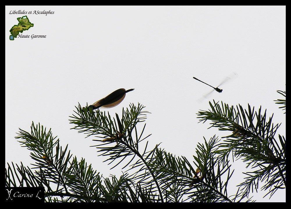 calopteryx2656b.jpg